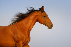 Pinto horse portrait Royalty Free Stock Images