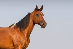 Pinto horse portrait Stock Image