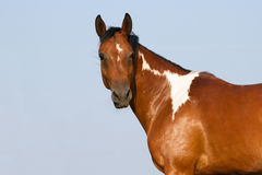 Pinto horse portrait Royalty Free Stock Photos