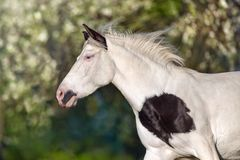 Pinto horse portrait in motion. In spring blossom Royalty Free Stock Photos