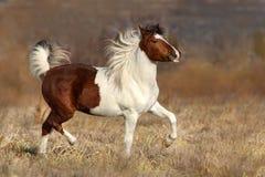 Free Pinto Horse Run Stock Photos - 84517193