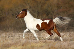 Pinto horse run Stock Photos