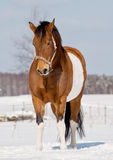Pinto horse Stock Image