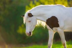 Pinto horse at sunlight Stock Image