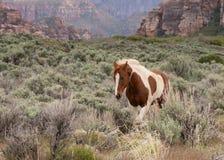 Pinto horse trotting through the sagebrush stock photo