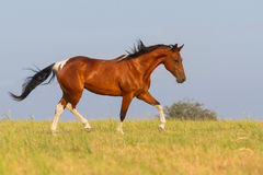 Pinto horse trotting in summer field Stock Photos