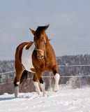 Pinto horse Royalty Free Stock Photography