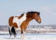 Pinto horse Stock Photos
