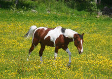 Pinto horse in a yellow field Stock Images