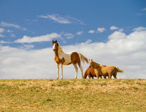 Pinto horses Royalty Free Stock Image