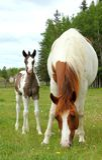 Pinto horses stock image