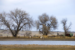 Pinto Horses by a Small Pond Royalty Free Stock Photos