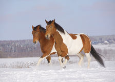 Pinto horses in winter Royalty Free Stock Photo