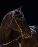 Pinto with a Little Bling. A handsome Pinto wearing a bridle with a little bling royalty free stock images