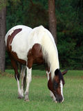 Pinto Mare grazing. Pinto mare with blue eye grazing in pasture Stock Photos