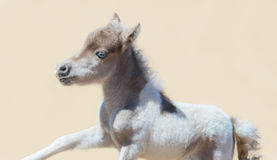 Pinto newly born foal in motion. American miniature horse. Royalty Free Stock Images