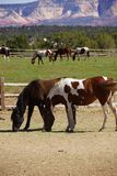 Pinto and other brown horses on a desert ranch Royalty Free Stock Photo