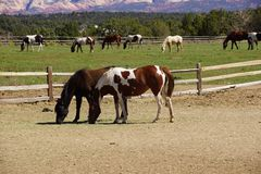 Pinto and other brown horses on a desert ranch Stock Images