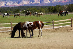 Pinto and other brown horses on a desert ranch Royalty Free Stock Photos