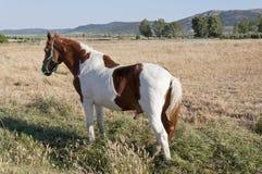 Pinto paard Stock Fotografie