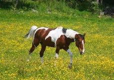 Pinto paard op een geel gebied Stock Afbeeldingen