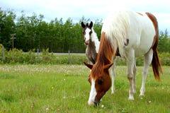 Pinto paarden Royalty-vrije Stock Foto