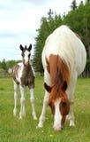 Pinto paarden Stock Afbeelding