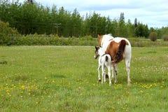 Pinto paarden Royalty-vrije Stock Afbeelding