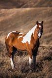 Pinto paardtribunes op de hellingen Stock Foto's