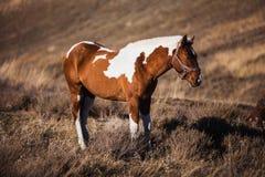 Pinto paardtribunes op de hellingen Stock Foto