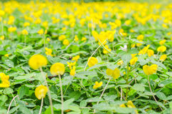 Pinto peanut flower in garden. Yellow and green pinto peanut flower on the ground Stock Image