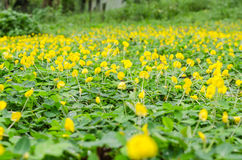 Free Pinto Peanut Flower In Garden Stock Photography - 55674722