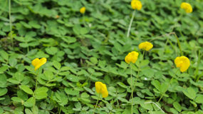 Pinto peanut flower and water drops in garden. Yellow and green pinto peanut flower on the ground Stock Photography