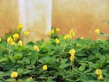 Pinto Peanut in garden. Yellow Pinto Peanut field in tropical garden Stock Photos