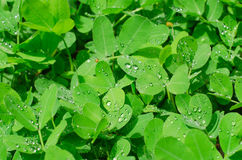 Pinto peanut leaves and water drops Royalty Free Stock Photos