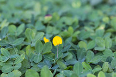 Pinto Peanut plant, Small yellow flower. Blooming on the ground Royalty Free Stock Images