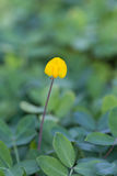 Pinto Peanut plant, Small yellow flower. Blooming on the ground Stock Photo