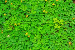 Pinto peanut. Plant Small yellow flower in the garden with selective Royalty Free Stock Photos