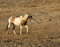 Pinto Stallion selvagem Fotografia de Stock Royalty Free