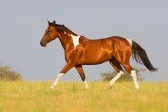 Pintohäst som traver i sommarfält arkivfoto