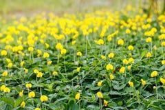 Pintoi do amendoim da flor do amendoim do Pinto Fotografia de Stock