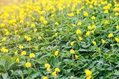 Pintoi do amendoim da flor do amendoim do Pinto Imagens de Stock