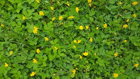 Pintoi peanut background. Like a green carpet decor with tiny yellow flowers Royalty Free Stock Photos