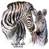 Pintor da aquarela das zebras Foto de Stock Royalty Free