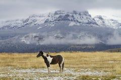Pintoranchhästen betar in, Wyoming berg Royaltyfria Foton