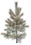 Pintree door sneeuw en ijs, witte achtergrond wordt behandeld die Royalty-vrije Stock Foto's