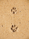 Pints of dog paws in sand Stock Photography