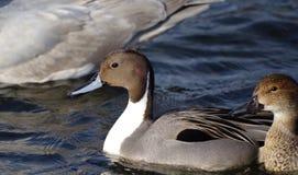 Pinttail鸭子和它的伙伴在海游泳 免版税库存图片