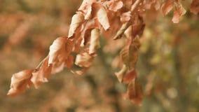 Pintura amarelo-alaranjada morna no close up da floresta do outono das folhas da árvore filme