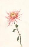 pintura Amarillo-rosada de la acuarela del crisantemo. Foto de archivo